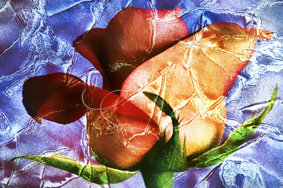 Etched Rose- 'Selected for Exhibition' PPOC-BC 2001. Surrey, BC Canada